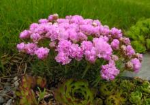 Armeria caespitosa; photo by Todd Boland