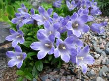 Campanula chamissonis; photo by Todd Boland