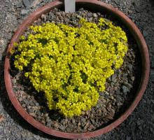 Draba polytricha; photo by Todd Boland