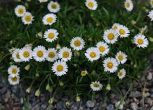 Erigeron hyssopifolius; photo by Todd Boland