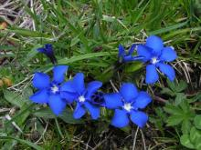 Gentiana verna, in the wilds of the Pyrenees.