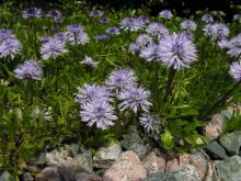 Globularia cordifolia; photo by Todd Boland