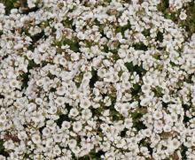 Gypsophila cerastoides