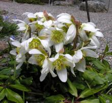 Helleborus niger; photo by Todd Boland