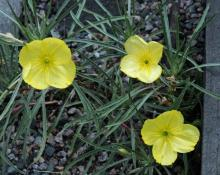 Oenothera macrocarpa ssp. fremontii