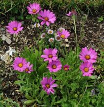 Osteospermum barberiae var. compactum; photo by Todd Boland