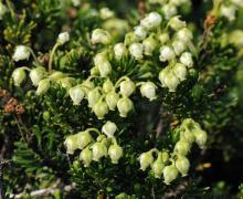Phyllodoce glanduliflora