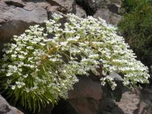 saxifraga longifolia photographed in ther wilds of the Spanish Pyrenees; photo by Todd Boland