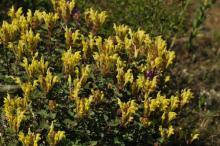 Scutellaria orientalis in the wilds of Georgia