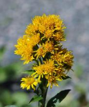 Solidago multiradiata; photo by Todd Boland