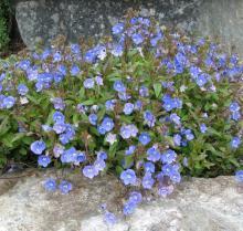 Veronica umbrosa 'georgia Blue'; photo by Todd Boland