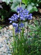 Allium sikkimense; photo by Todd Boland