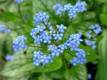 Brunnera macrophyllum flowers, photo by Todd Boland