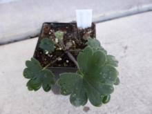 Aconitum rotundifolium seedling.