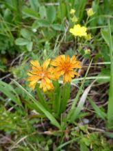 Agoseris aurantiaca; Banff National Park, AB.