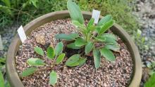 Pulsatilla integrifolia