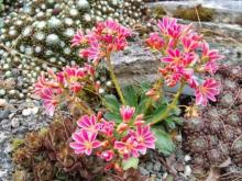 Lewisia cotyledon from Highberg Garden